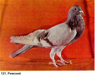 Бакинские бойные голуби: описание, фото. Красный голубь: красные белохвостые голуби || Красный голубь красные белохвостые голуби